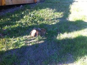 """Rabbit observer """"Lepus"""""""